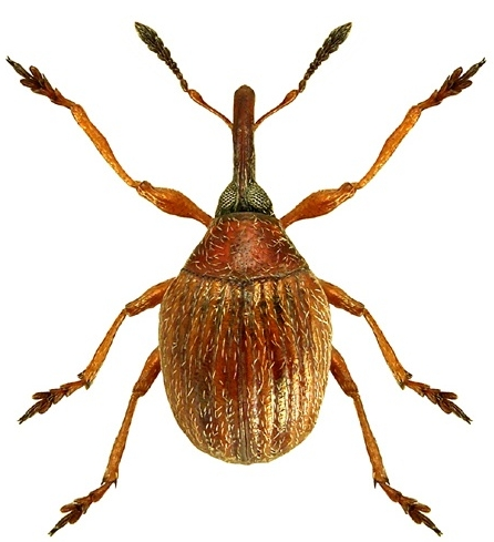 Obrázek 1. Nosatec Microon sahlbergi (foto Lech Borowiec).