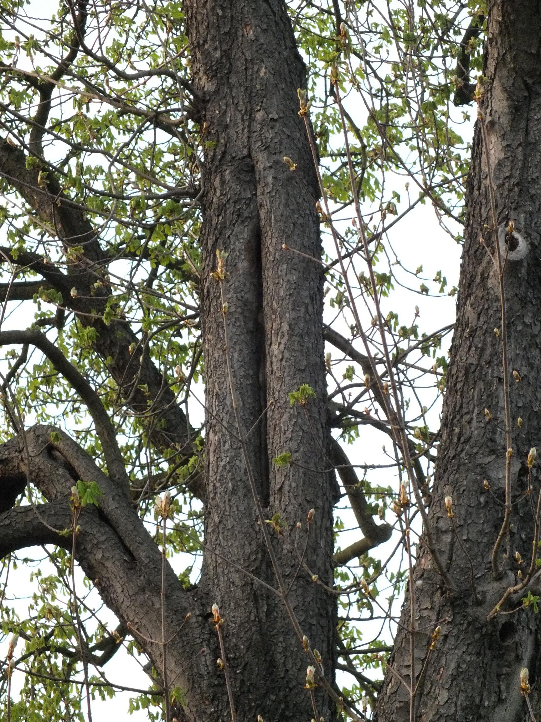 Netopýří úkryt v dutině stromu, který je určen ke skácení. Foto: Evžen Tošenovský