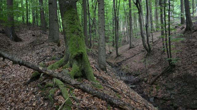 Těžbou ochrožený les ve Vsetínských vrších (Dinotice)